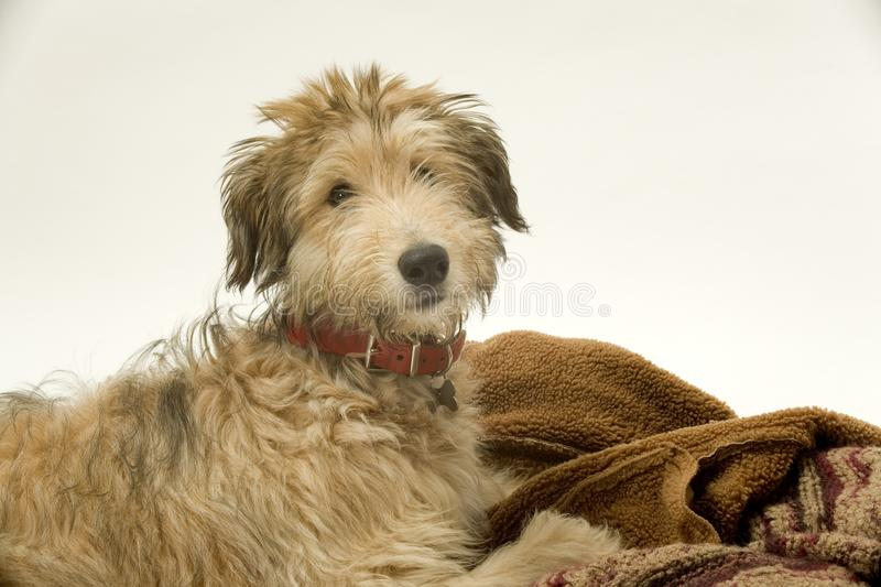 Lurcher puppy royalty free stock photo