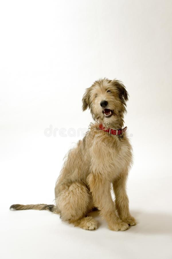 Lurcher puppy stock photo