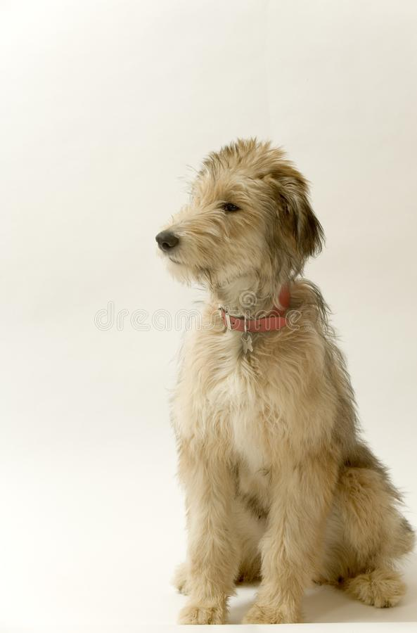 Lurcher puppy stock image