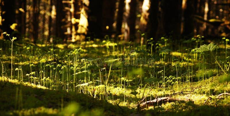 Lurendrejeri-huvud skog fotografering för bildbyråer