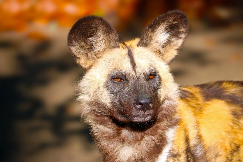 Head of an african wild dog in the sun. Head of an african wild dog (lycaon pictus) in the bright sunlight royalty free stock image