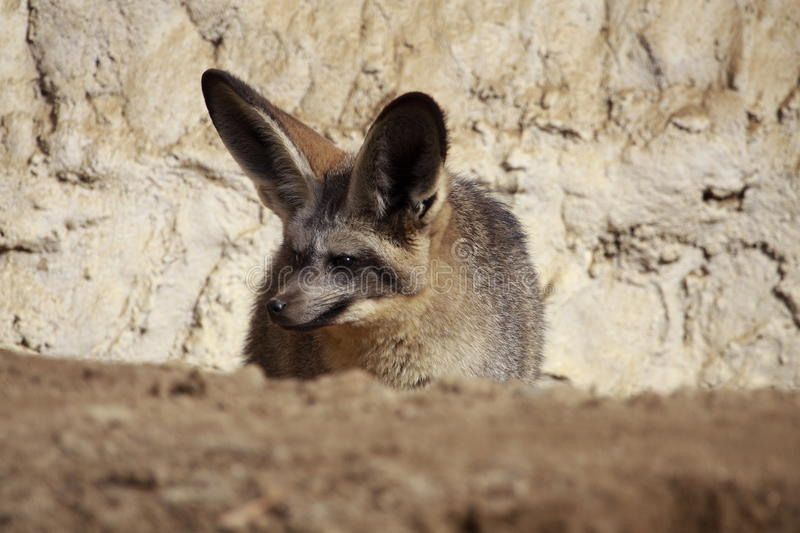 Download Lurking bat-eared Fox stock photo. Image of nature, canid - 13405122