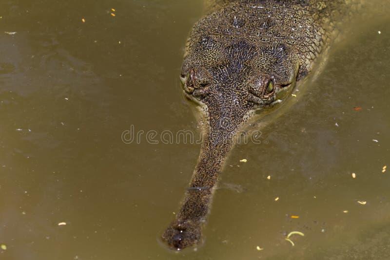 Download Lurking Crocodile stock image. Image of gavialis, dangerous - 35469217