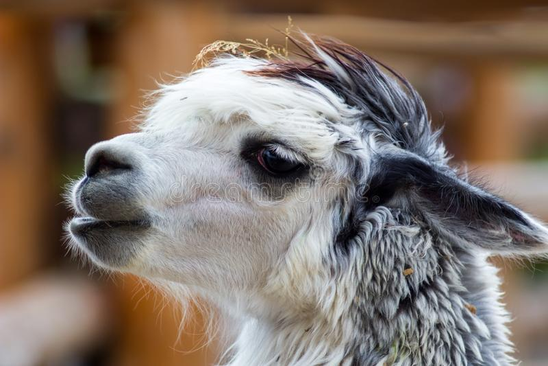 Lurvig alpaca i zoo arkivbild