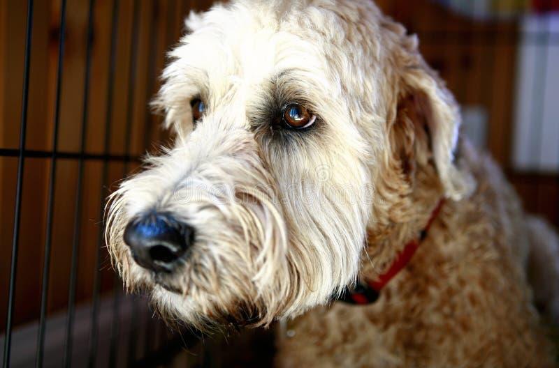lurvig gullig hund royaltyfria bilder