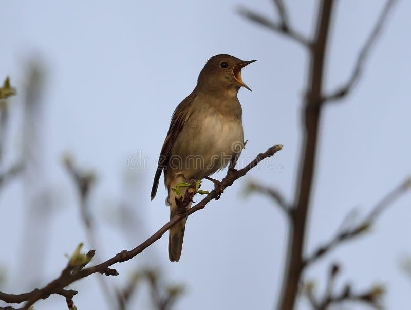 Luscinia Luscinia τσιχλών nightingale στοκ φωτογραφία με δικαίωμα ελεύθερης χρήσης