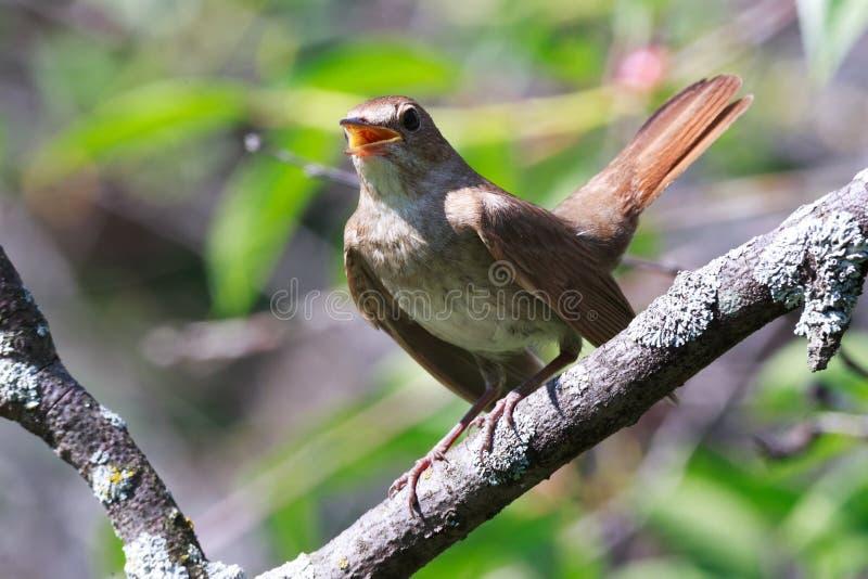 Luscinia Luscinia, τσίχλα Nightingale στοκ φωτογραφία με δικαίωμα ελεύθερης χρήσης