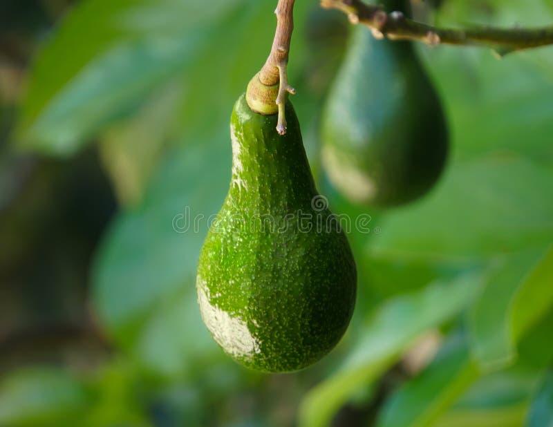 Luscious смертная казнь через повешение авокадоа от дерева стоковая фотография rf