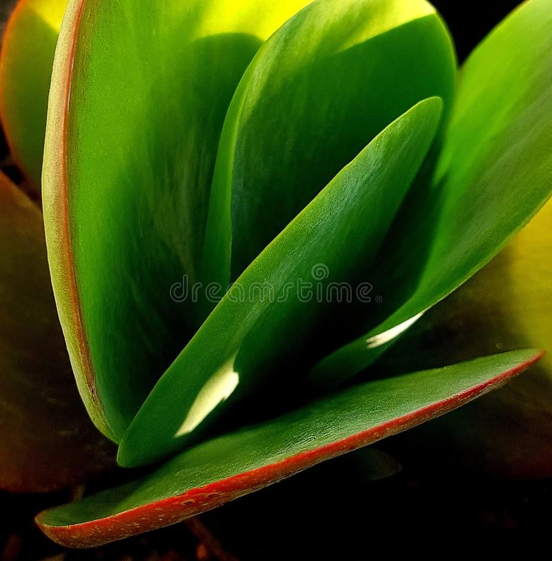Luscious plant. This plant is healthy bright green with red outline on the bigger leaves stock photography