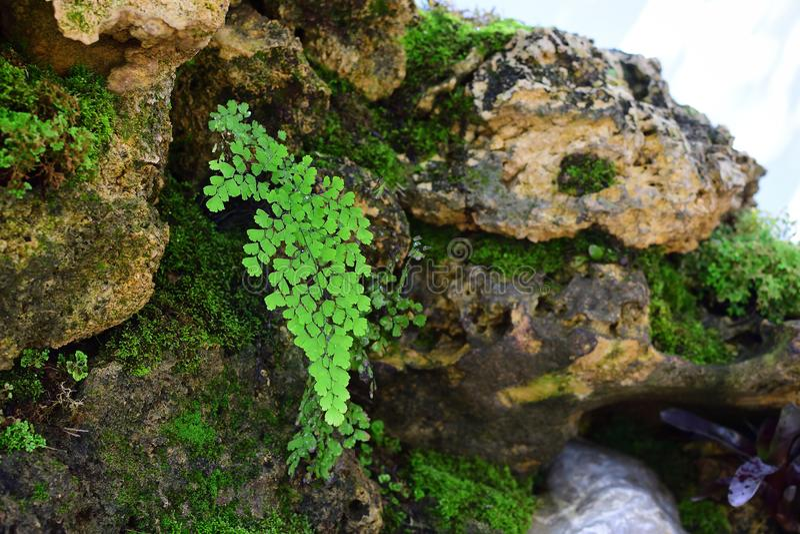 Lush Adiantum capillus-veneris, also known as Southern maidenhair fern. stock photo