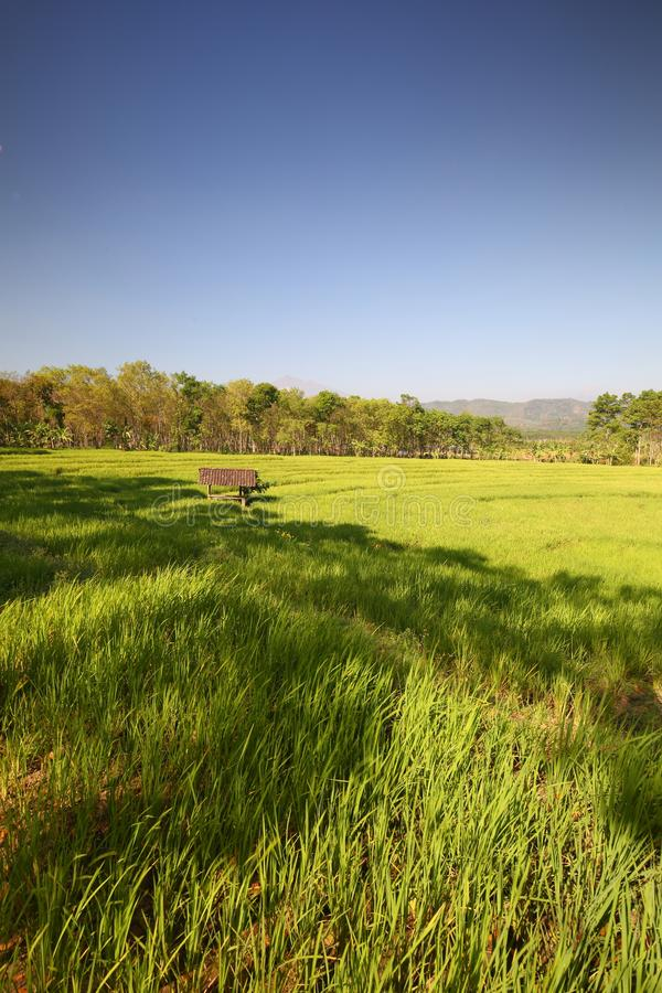 Green Paddy Fields, Portent of Good Harvest and Plant Management. Lush and beautiful Green paddy fields, Use of good plant management and controls, will bring stock images