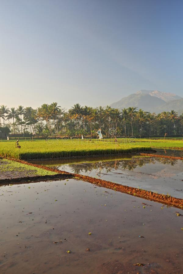 Green Paddy Fields, Portent of Good Harvest and Plant Management. Lush and beautiful Green paddy fields, Use of good plant management and controls, will bring royalty free stock photography
