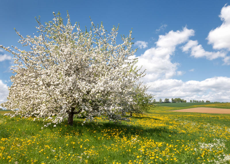 Lush blooming apple tree in a flower meadow stock image