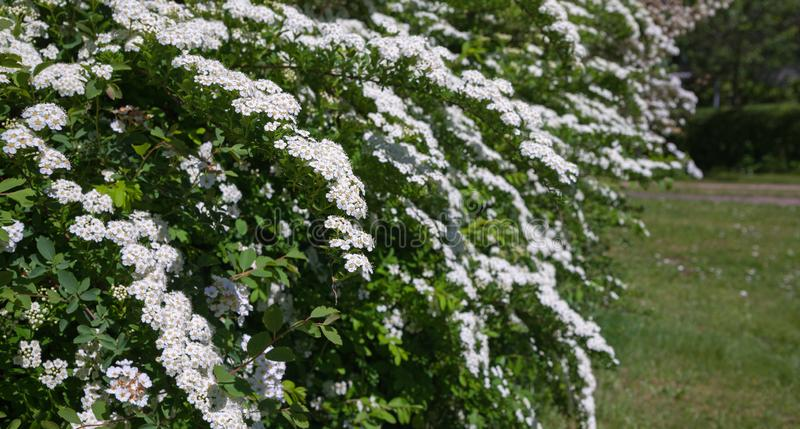 Lush blooming bushes royalty free stock photography