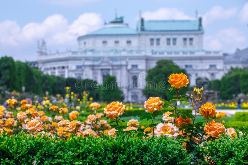 Lush blooming orange roses in rose garden. Volksgarten(people's park) in Vienna, Austria. City, green, background, europe, flower, nature stock photos