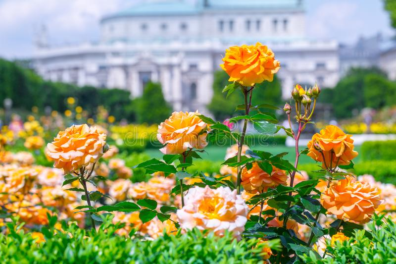 Lush blooming orange roses in rose garden. Volksgarten(people's park) in Vienna, Austria. City, green, background, europe, flower, nature stock images