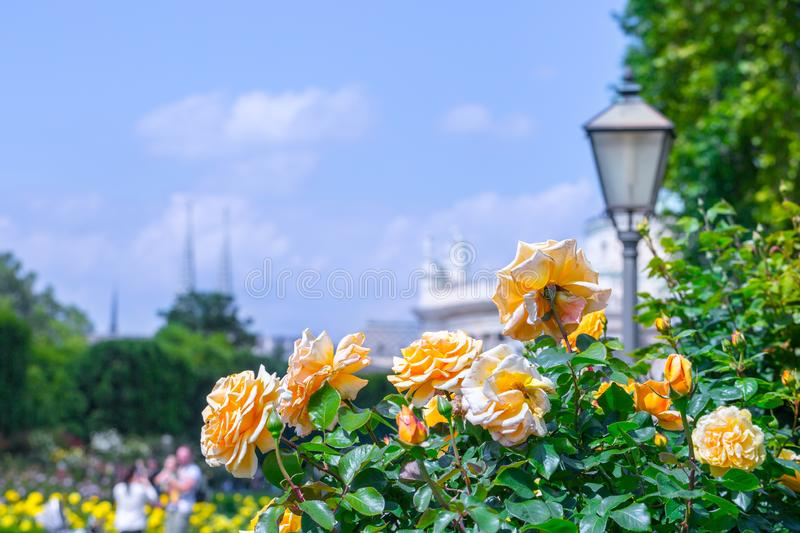 Lush blooming orange roses in rose garden. Volksgartenpeople`s park in Vienna, Austria. Volksgartenpeoples, city, green, background, europe, flower, nature royalty free stock photos