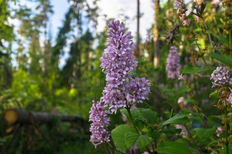 Lush blooming sprig of wild forest lilac on the clear summer evening, Moscow suburbs, Russia. royalty free stock images