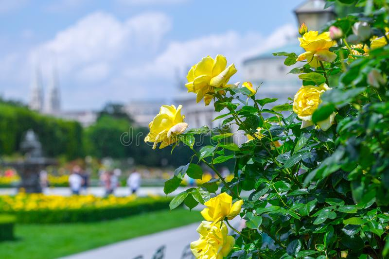 Lush blooming yellow roses in rose garden. Volksgarten(people's park) in Vienna, Austria. City, green, background, europe, flower, nature royalty free stock photography