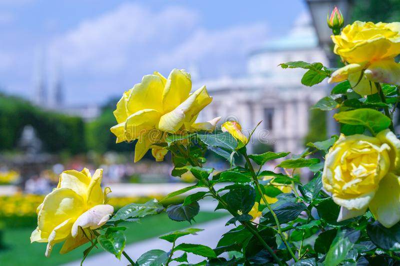 Lush blooming yellow roses in rose garden. Volksgarten(people's park) in Vienna, Austria. City, green, background, europe, flower, nature stock photo