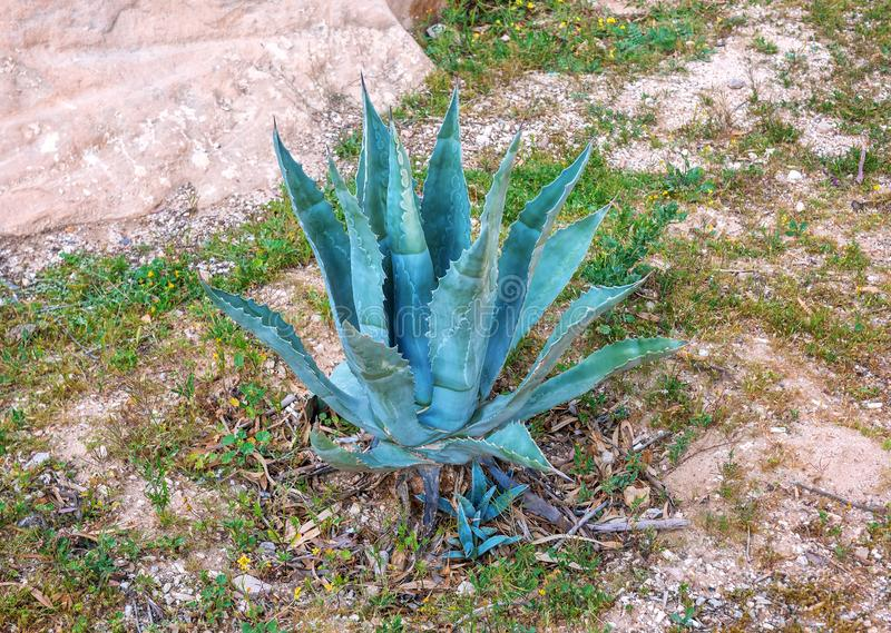 Lush blue agave. Lush blue and juicy agave plant stock photo
