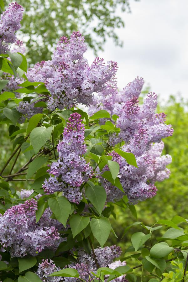 Lush bush lush, beautiful purple violet flowers large candle inflorescences. Lilac nature stock image