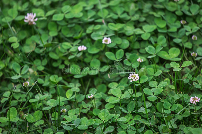 Lush clover field. natural background texture. fresh spring green grass stock photo