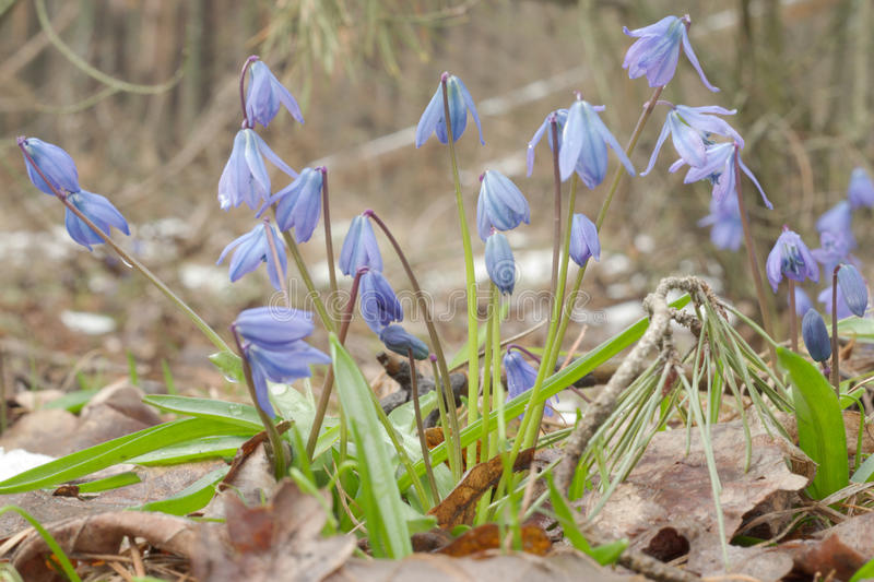 Lush clump of Scilla siberica. True beauty of nature. Lush clump of Siberian squill. True beauty of nature stock images