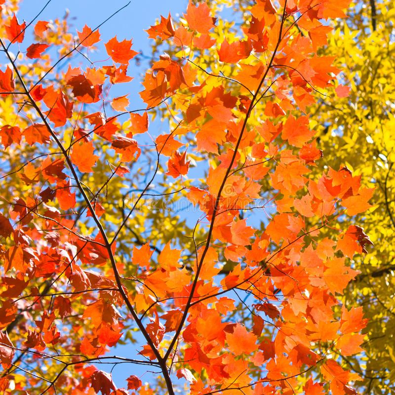 Lush colorful Autumn foliage. Looking up at a canopy of colorful red and yellow leaves, formed trees at autumn season stock image