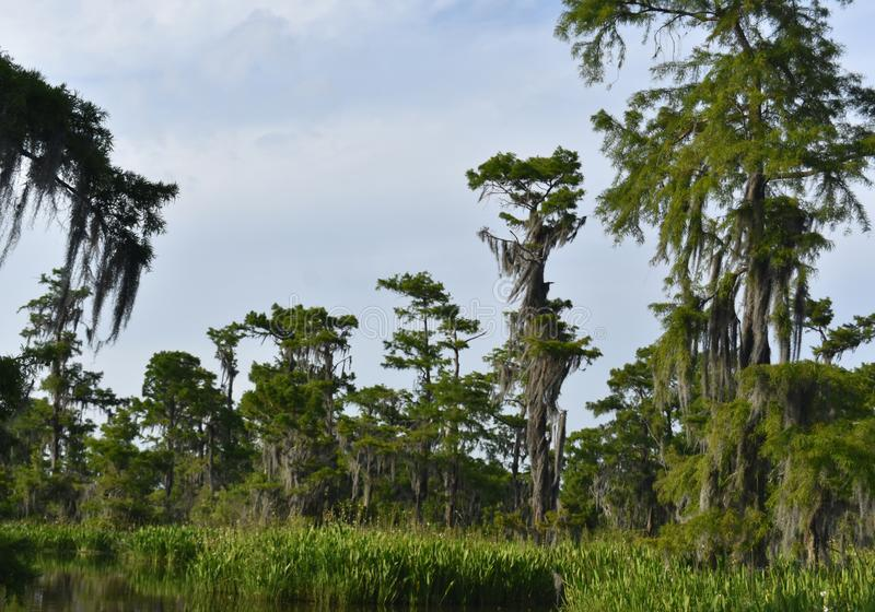 Lush Fauna Thriving in the Southern Louisiana Wetlands. Lush green fauna thriving in the wetlands of southern Louisiana stock photo