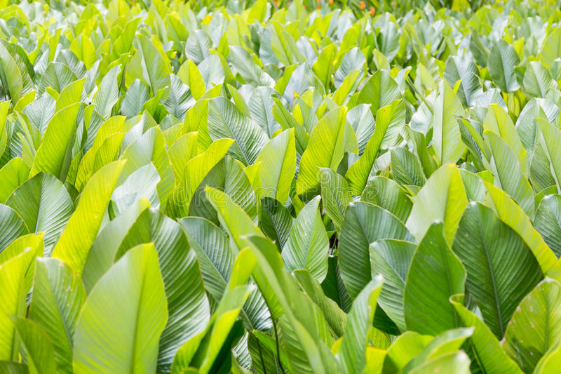 Lush Fertile Green Leafs In Tropical Garden Stock Photo - Image of ...