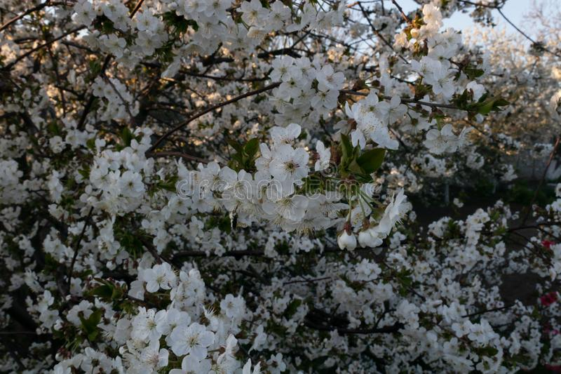 Lush flowering cherry tree in the garden near the house.  stock photography