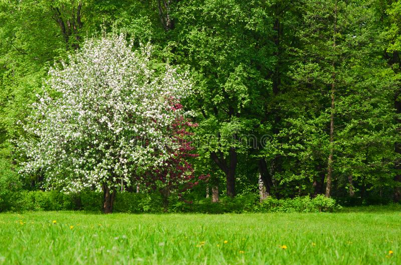 Lush flowering tree Apple trees in the spring meadow royalty free stock photos