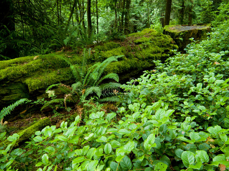 Download Lush forest stock photo. Image of foliage, salal, trees - 20230030