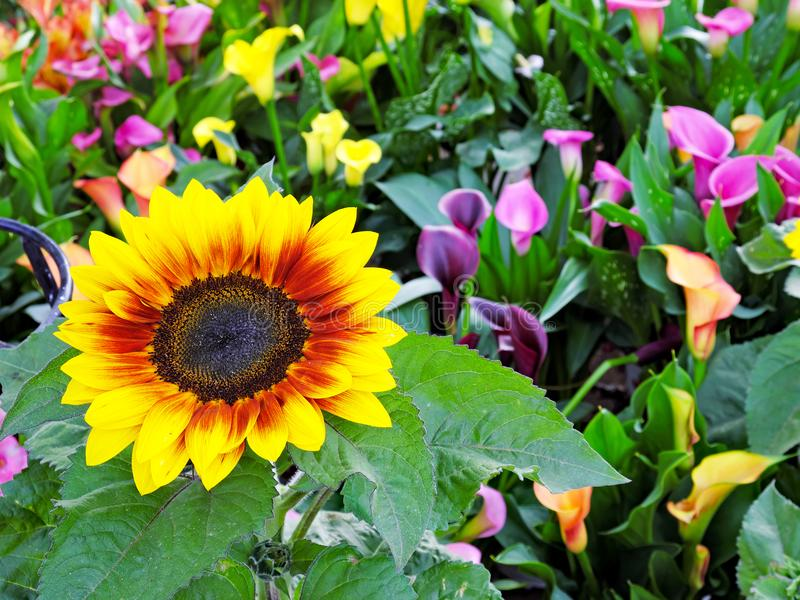 Bright Sunflower in Lush Colourful Garden royalty free stock image