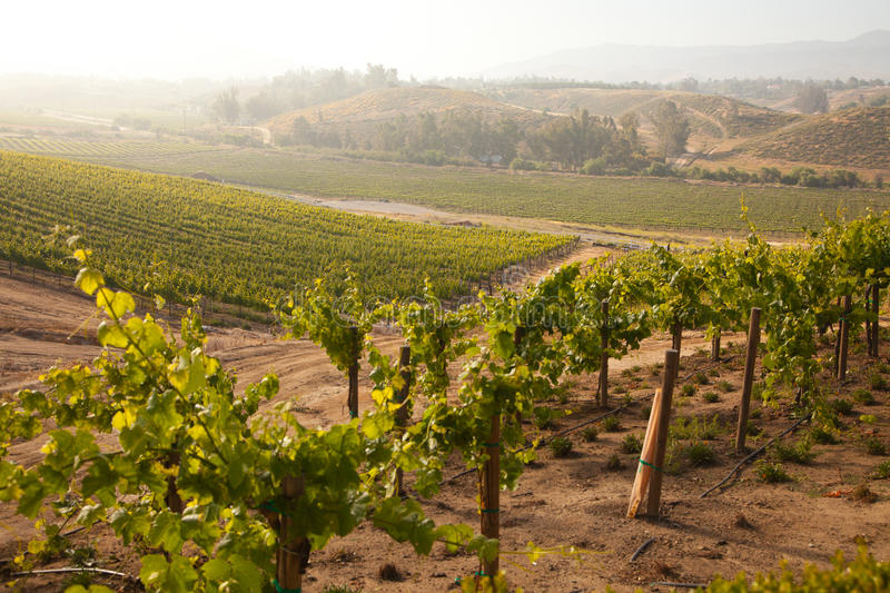 Download Lush Grape Vineyard In The Morning Sun And Mist Royalty Free Stock Photography - Image: 15773247