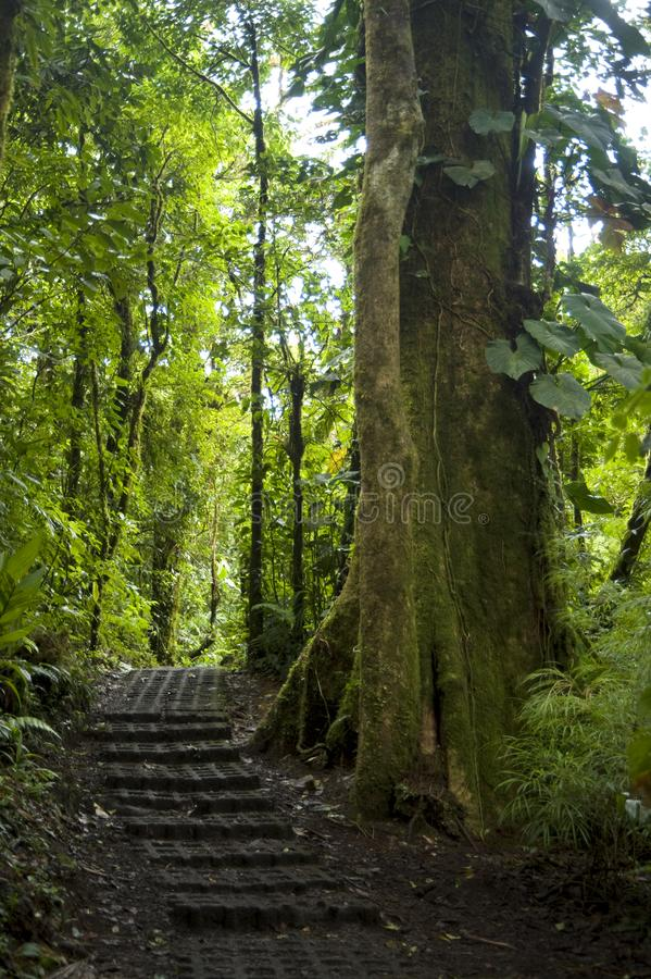 Lush, green foliage surrounds the numerous hiking trails in Monteverde Cloud Forest in Costa Rica. The Monteverde Cloud Forest Reserve was established in 1972 royalty free stock image