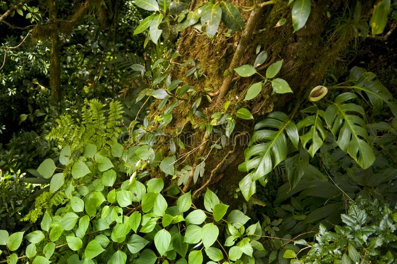 Lush, green foliage surrounds a tree trunk in Monteverde Cloud Forest in Costa Rica. The Monteverde Cloud Forest Reserve was established in 1972 and initially stock photo