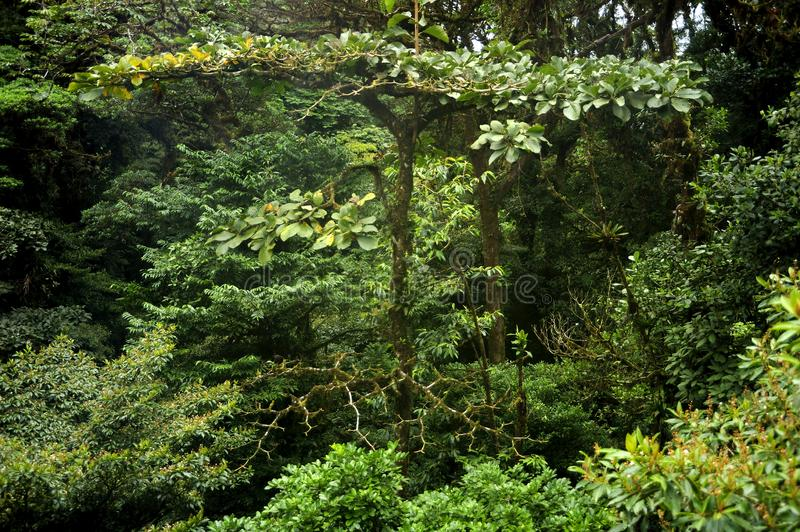 Dense layers of lush, green foliage fill Monteverde Cloud Forest from canopy to floor. The Monteverde Cloud Forest Reserve was established in 1972 and initially royalty free stock photo