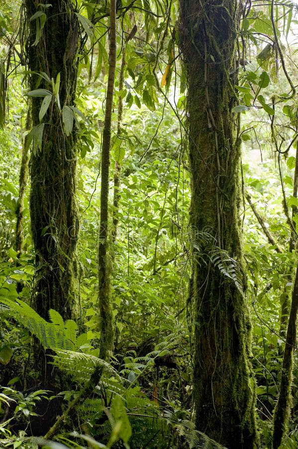 Trees drip with lush, green foliage in Monteverde Cloud Forest Reserve in Costa Rica. The Monteverde Cloud Forest Reserve was established in 1972 and initially stock photography