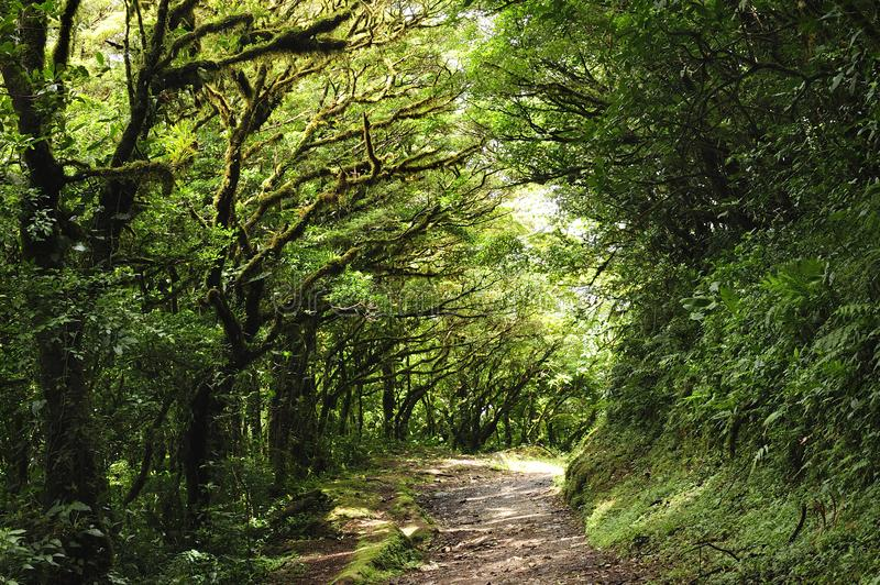 Lush, green foliage surrounds the numerous hiking trails in Monteverde Cloud Forest in Costa Rica. The Monteverde Cloud Forest Reserve was established in 1972 stock image
