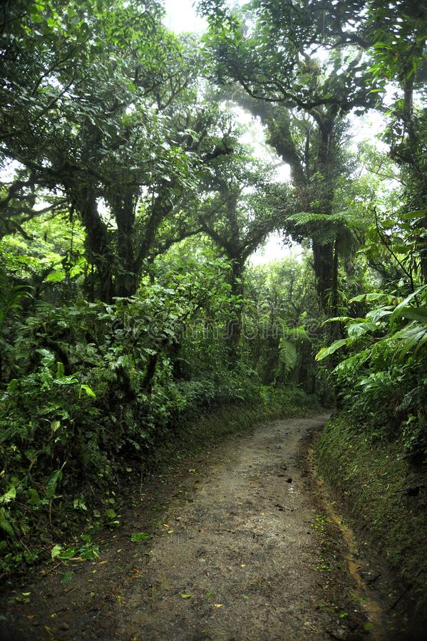 Lush, green foliage surrounds the numerous hiking trails in Monteverde Cloud Forest in Costa Rica. The Monteverde Cloud Forest Reserve was established in 1972 royalty free stock photo