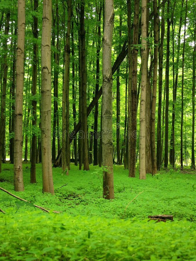 Lush Green Forest. One lone fallen tree inside this lush green forest stock photography