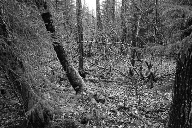 Black and White Photo Spooky Forest stock photography