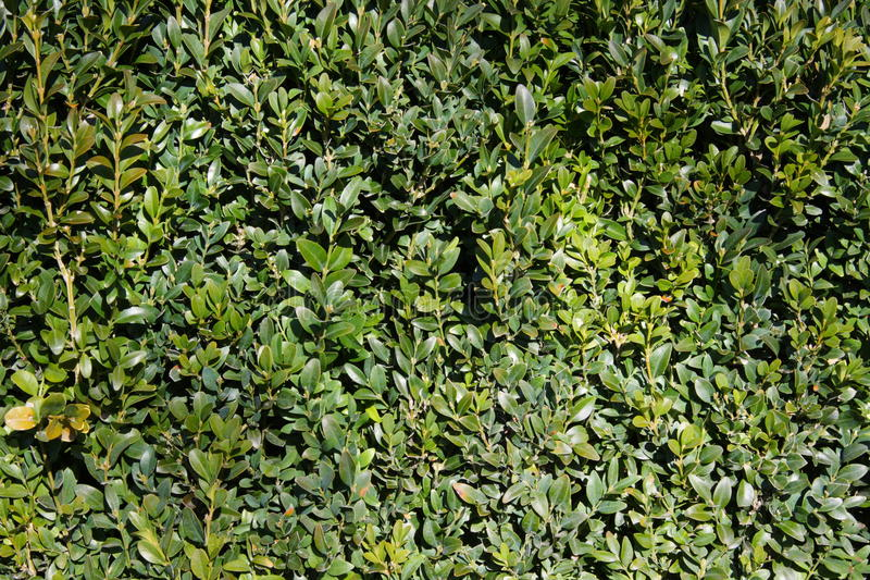 Download Lush green hedge stock image. Image of detail, close - 10871863