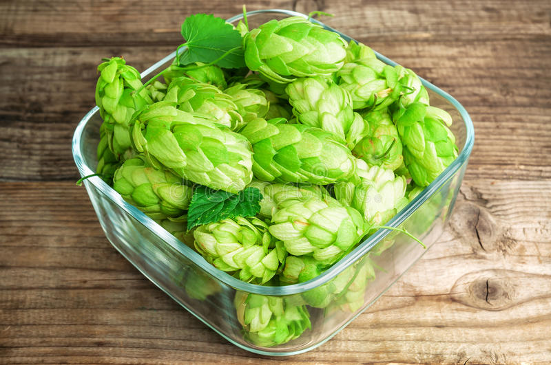 Lush and green hops stock photography