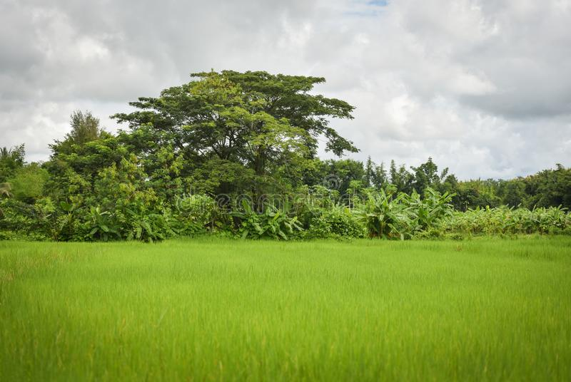 Rice field With a tree background royalty free stock photography