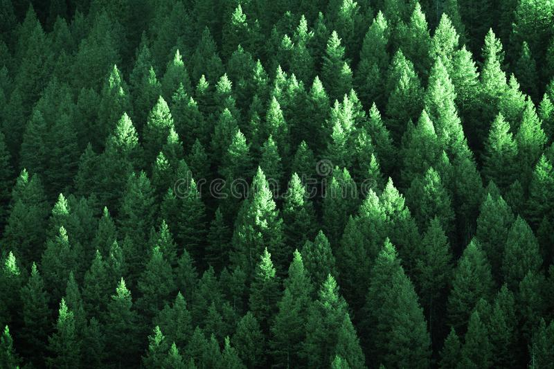 Lush Green Pine Trees Forest Growth with Sunlight royalty free stock photography