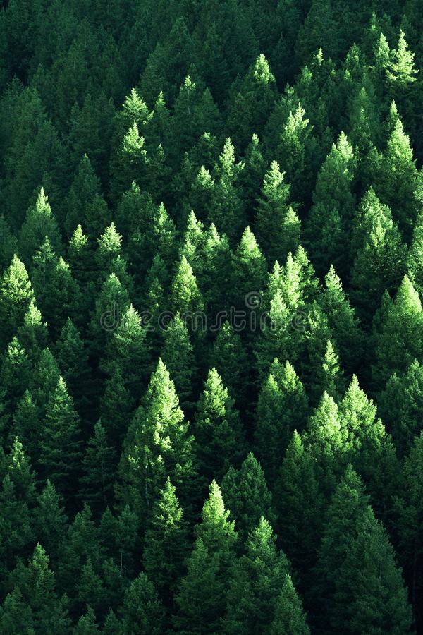 Lush Green Pine Trees Forest Growth with Sunlight royalty free stock image