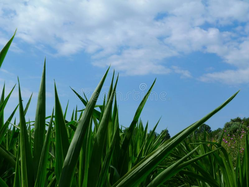 Lush green pointy corn leaves under blue sky and white clouds royalty free stock photography